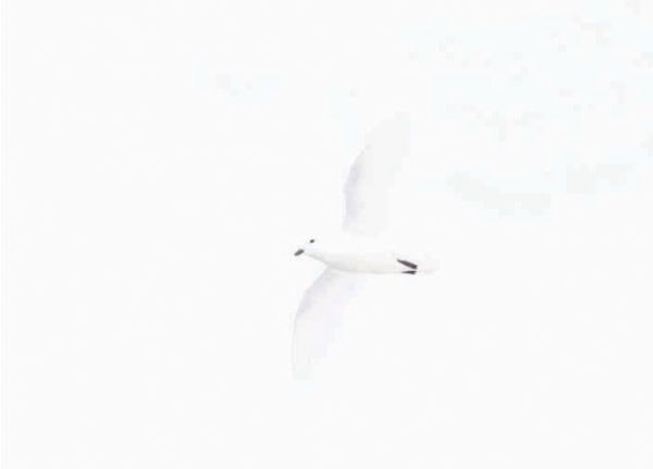 Snow Petrel Christmas Cards (pk of 6)